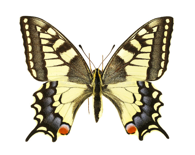 Papilio machaon. Dorsal view of an Papilio machaon isolated on a white background stock photography