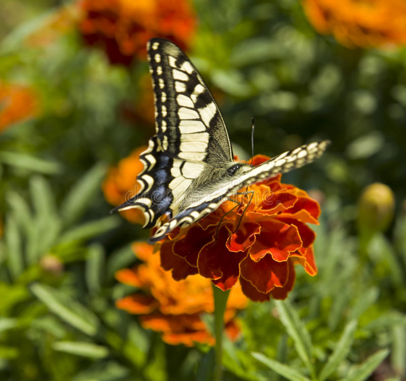 Papilio machaon. Butterfly papilio machaon on marigold flower royalty free stock image