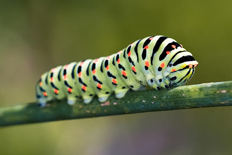 Papilio machaon. Colorful papilio machaon caterpillar closeup stock photos