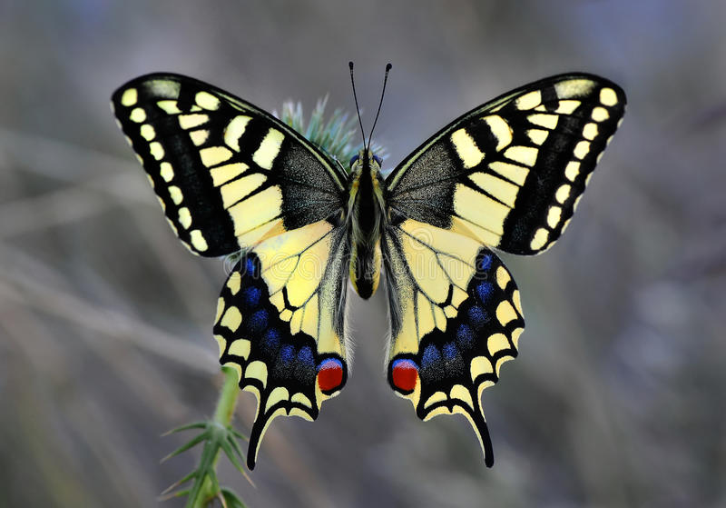 Papilio machaon 库存照片