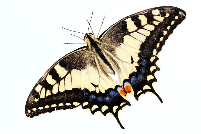 Papilio machaon. Beautiful yellow Swallowtail butterfly (Papilio machaon stock photo