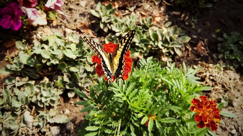 Papilio machaon royaltyfria bilder