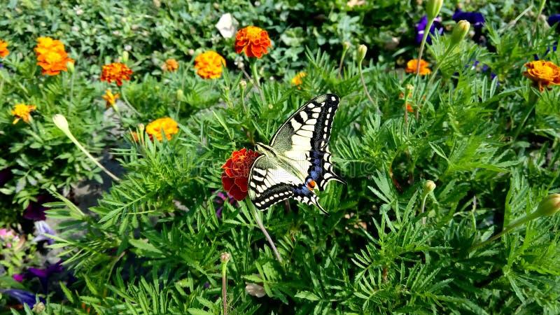 Papilio machaon arkivfoton