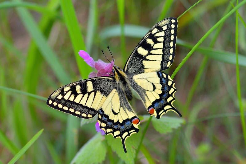 Papilio machaon fotografia royalty free