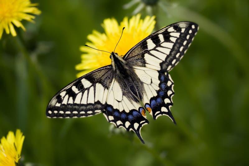 Papilio machaon britannicus. Papilio machaon sitting on dandelion royalty free stock photo