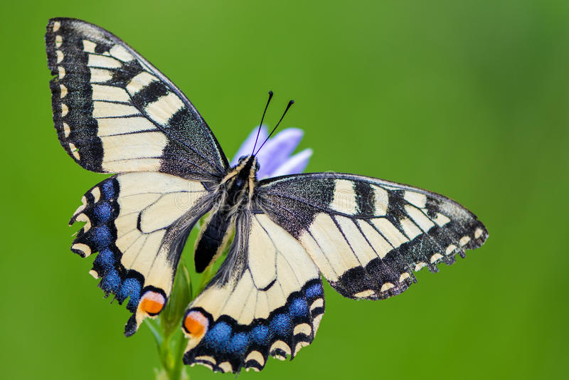 Papilio machaon. Butterfly called Swallowtail stock images