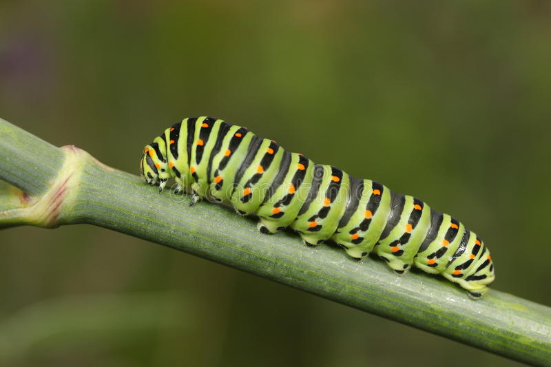 Download Papilio Machaon Caterpillar Stock Image - Image of butterfly, stalk: 27383841