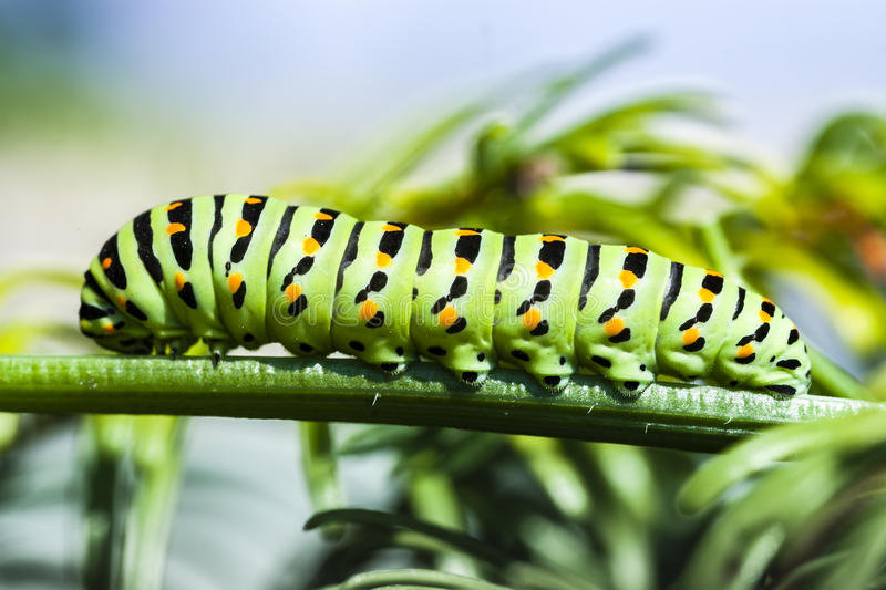 Papilio Machaon Caterpillar on Green Plant. Butterfly Green Larva royalty free stock photos
