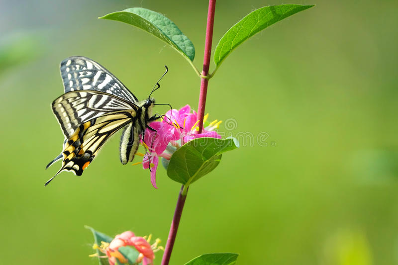 Papilio machaon. The close-up of Papilio machaon is taking nectar royalty free stock image
