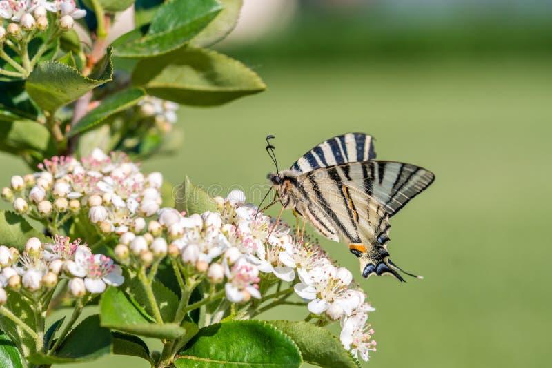 Papilio-machaon, die Alte Welt oder allgemeines gelbes swallowtail, ist ein Schmetterling der Familie Papilionidae lizenzfreies stockfoto