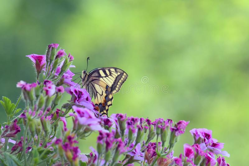 The Papilio Machaon. The Papilio Machaon, a fine specimen of butterfly, perched on the colorful flowers of the geranium royalty free stock image