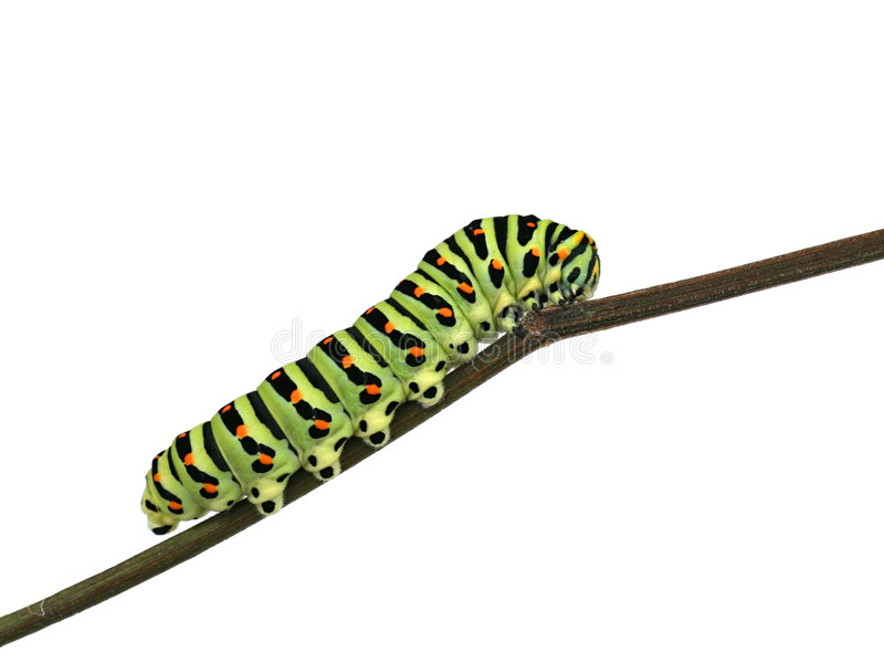 Papilio machaon larva stock photography