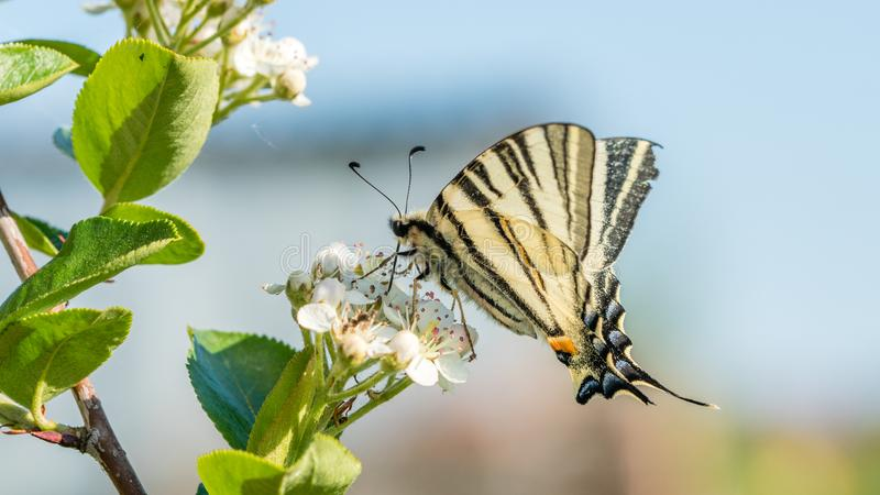 Papilio machaon, the Old World or common yellow swallowtail, is a butterfly of the family Papilionidae. On the Aronia melanocarpa or chokeberry flowers stock images