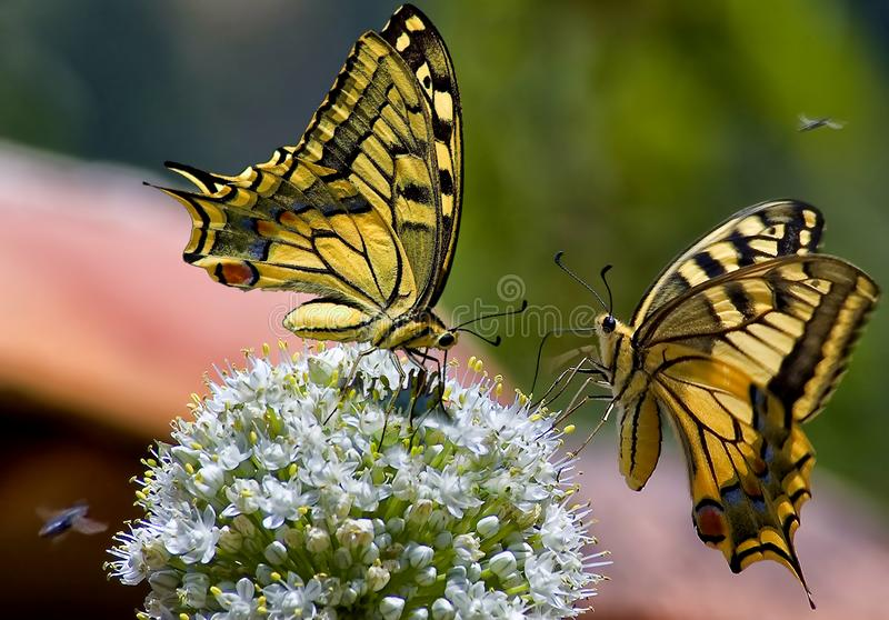 Papilio machaon. The Old World swallowtail, is a butterfly of the family Papilionidae. The butterfly is also known as the common yellow swallowtail or simply stock photo