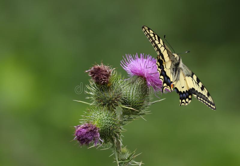Papilio machaon, the Old World swallowtail. Is a butterfly of the family Papilionidae. The butterfly is also known as the common yellow swallowtail or simply royalty free stock photography
