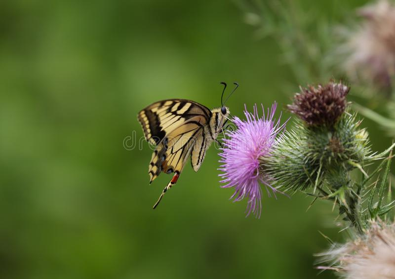 Papilio machaon, the Old World swallowtail. Is a butterfly of the family Papilionidae. The butterfly is also known as the common yellow swallowtail or simply stock photos