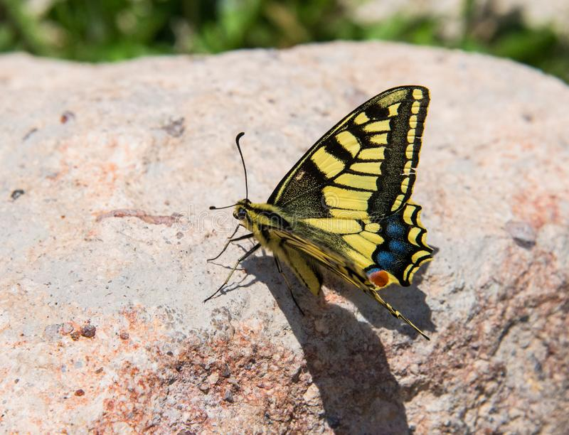Papilio machaon butterfly. Papilio machaon, the Old World swallowtail, is a butterfly of the family Papilionidae. The butterfly is also known as the common royalty free stock photography