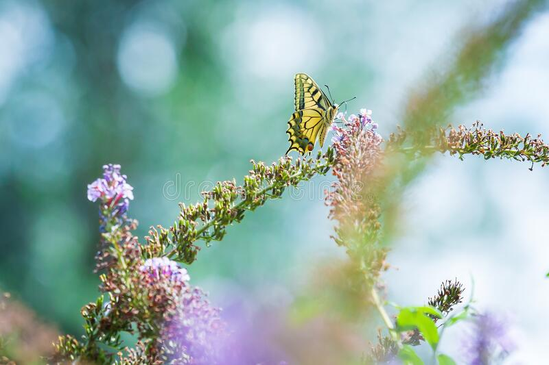 Papilio machaon, the Old World swallowtail, butterfly. Feeding nectar from a purple butterfly-bush royalty free stock photography