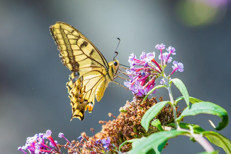 Papilio machaon, the Old World swallowtail, butterfly. Feeding nectar from a purple butterfly-bush royalty free stock photo