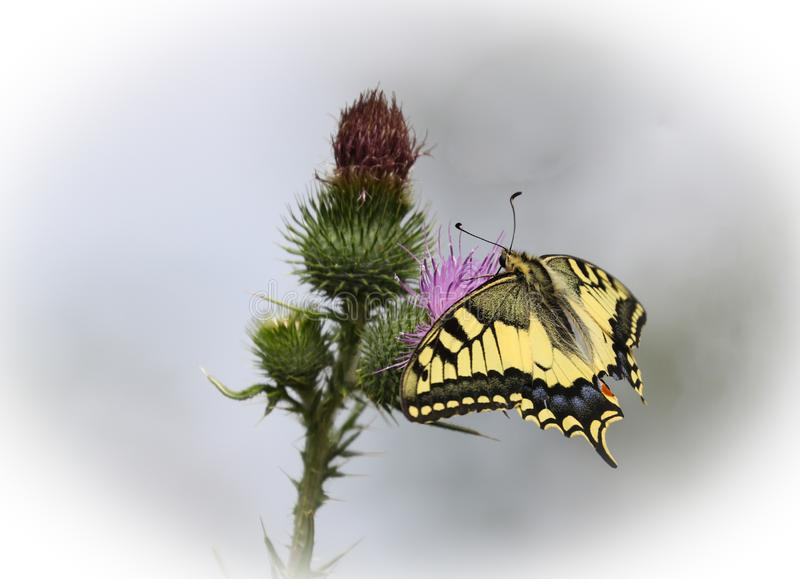 Papilio machaon, the Old World swallowtail. Is a butterfly of the family Papilionidae. The butterfly is also known as the common yellow swallowtail or simply royalty free stock photo