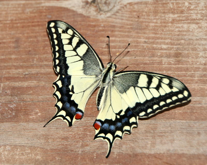 Papilio machaon, Oude Wereld swallowtail stock foto