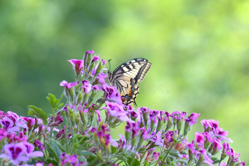 The Papilio Machaon. The Papilio Machaon, a fine specimen of butterfly, perched on the colorful flowers of the geranium stock photography