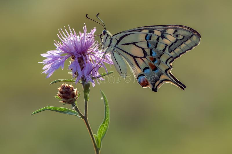 Papilio Machaon. Is a Papilionidae butterfly. The butterfly is also known as the common yellow dovetail or simply dovetail Sometimes you can see the dovetail stock images