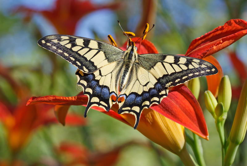 Papilio-machaon Schmetterling stockbilder