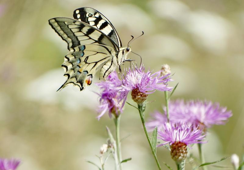 Papilio machaon. Swallowtail butterfly, Papilio machaon on a pink flower in the meadow royalty free stock photography