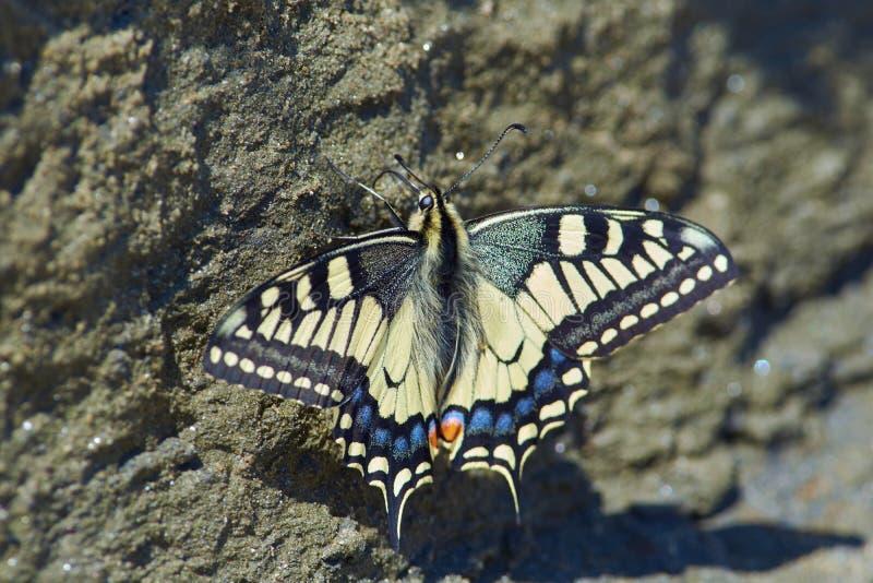 Papilio machaon, swallowtail för gammal värld, sitter på väggen av en sa royaltyfri fotografi
