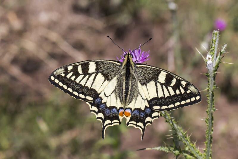 Papilio machaon, Swallowtail fjäril från Italien royaltyfria bilder