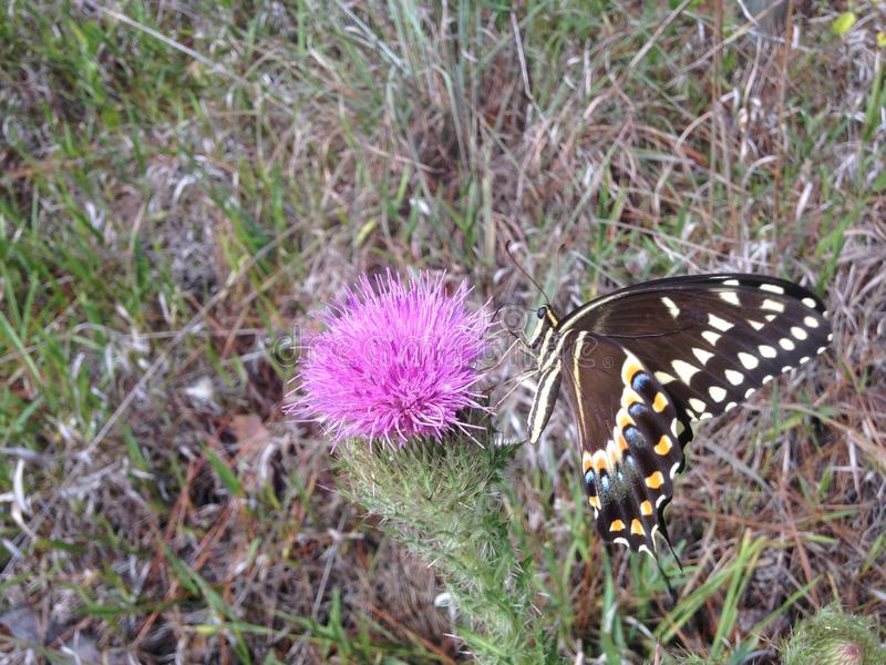 Papilio Machaon, Swallowtail-Vlinder op Distelinstallatie in Florida royalty-vrije stock fotografie