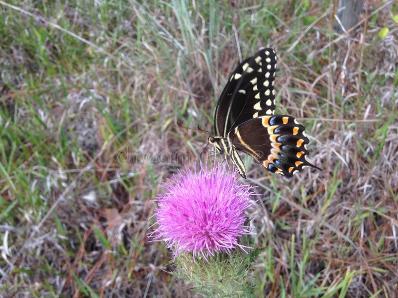 Papilio Machaon, Swallowtail-Vlinder op Distelinstallatie in Florida stock afbeelding