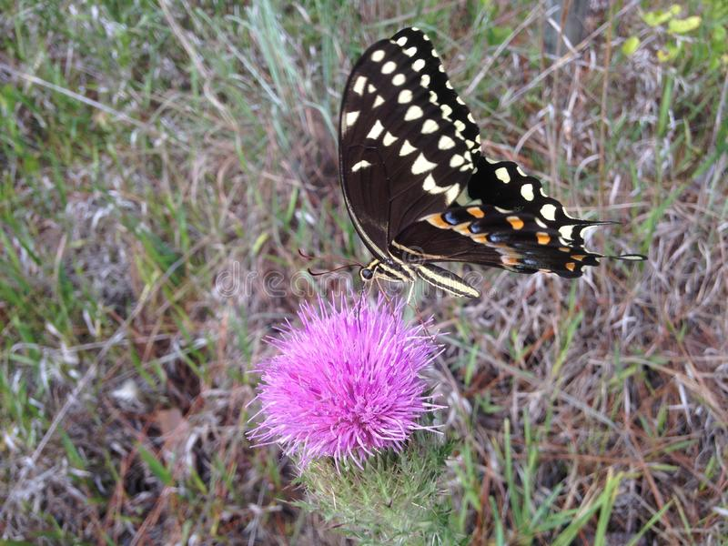 Papilio Machaon, Swallowtail-Vlinder op Distelinstallatie in Florida stock afbeeldingen