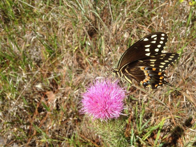 Papilio Machaon, Swallowtail-Vlinder op Distelinstallatie in Florida stock fotografie