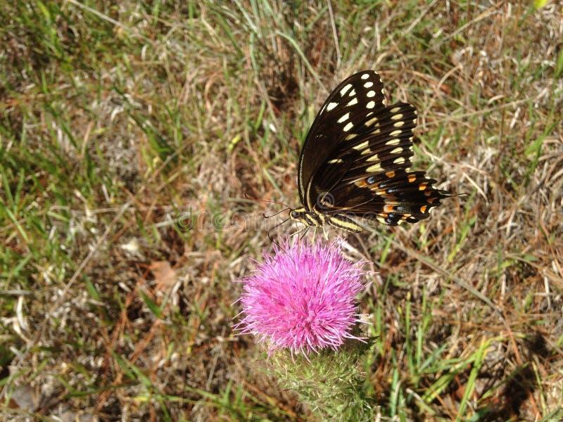 Papilio Machaon, Swallowtail-Vlinder op Distelinstallatie in Florida stock foto