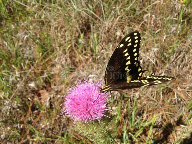 Papilio Machaon, Swallowtail-Vlinder op Distelinstallatie in Florida stock foto's