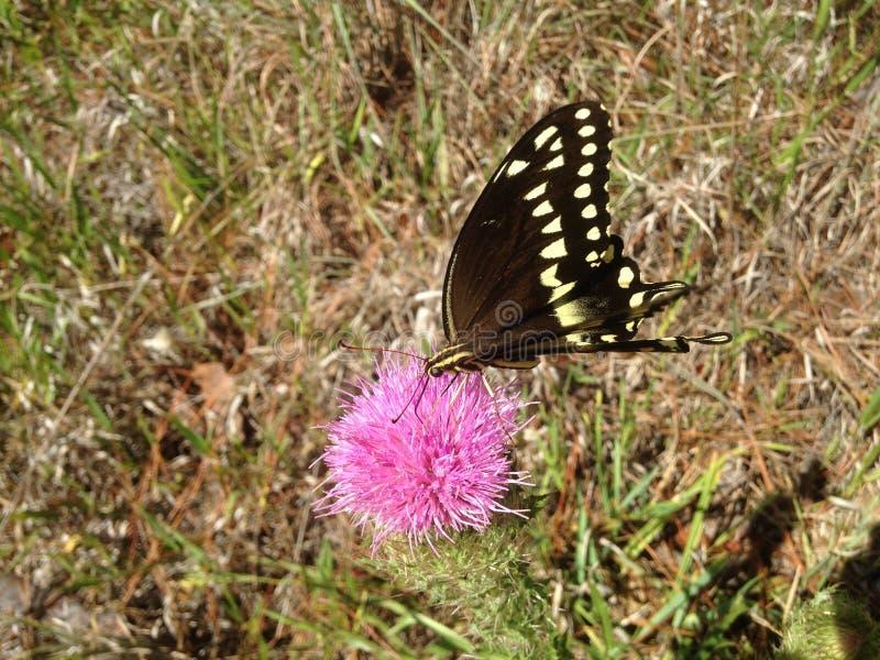 Papilio Machaon, Swallowtail-Vlinder op Distelinstallatie in Florida royalty-vrije stock afbeeldingen