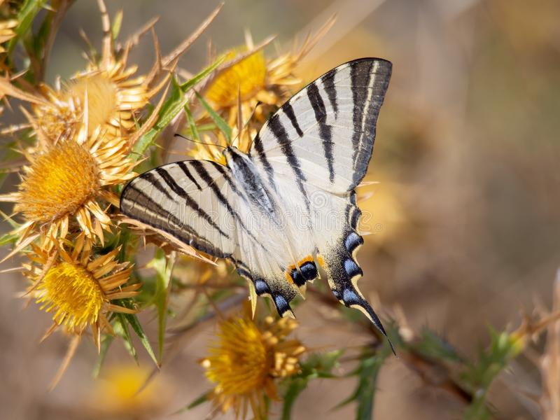 Papilio machaon. On thistle, Corfu, Greece stock photos