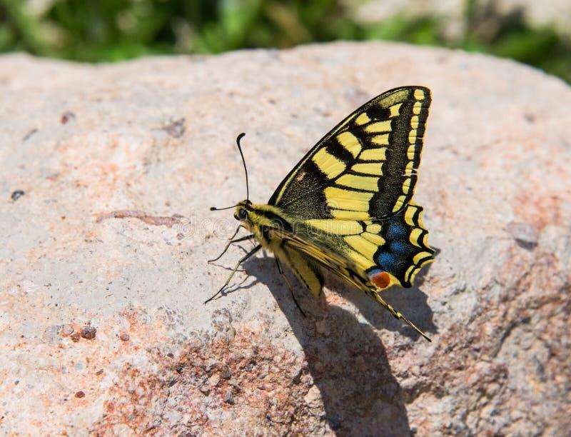 Papilio machaon Vlinder royalty-vrije stock fotografie