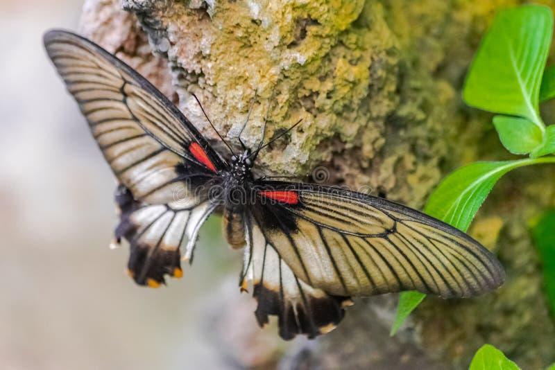 Papilio-memnon, der große mormonische Schmetterling lizenzfreies stockbild