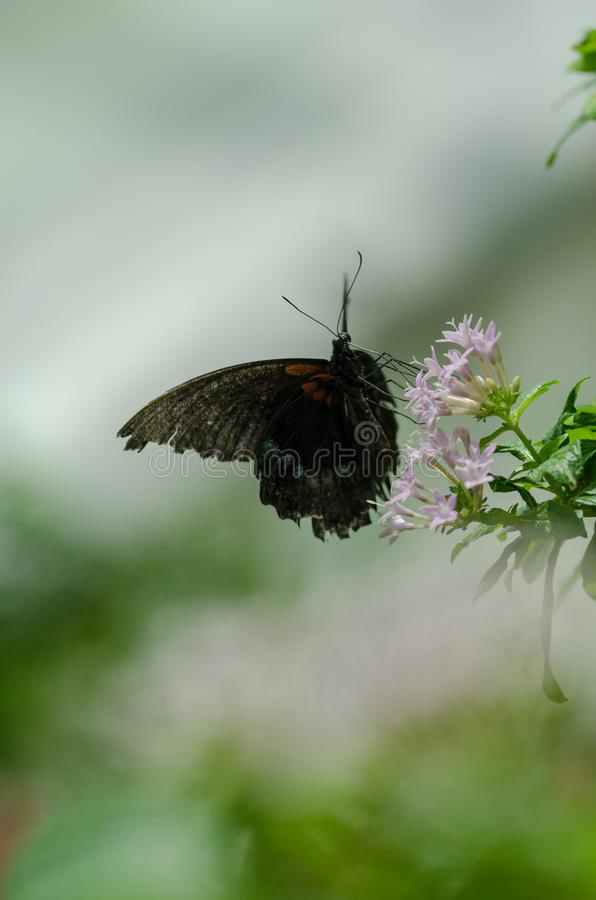 Papilio memnon Great Mormon butterfly resting on a flower. stock image