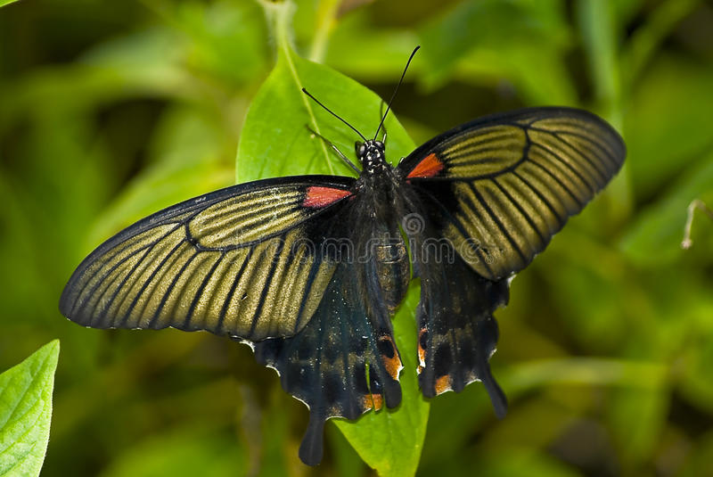 Papilio Memnon, The Great Mormon Swallowtail. Great Mormon (Papilio memnon) is a large butterfly with contrasting colors that belongs to the Swallowtail family royalty free stock images