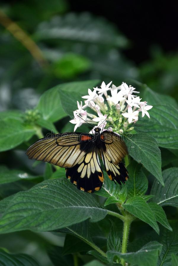 Papilio memnon, grey patterned butterfly on a white flower in nature royalty free stock images