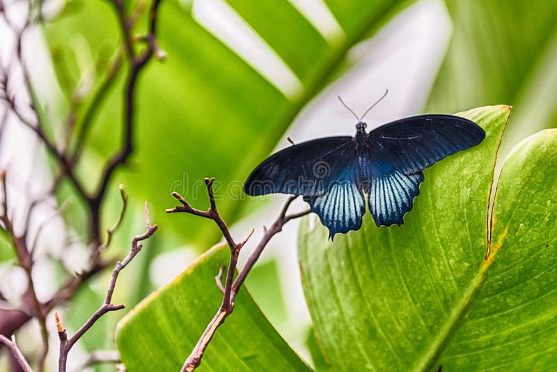 Papilio memnon, tropical butterfly, standing on a leaf royalty free stock photo