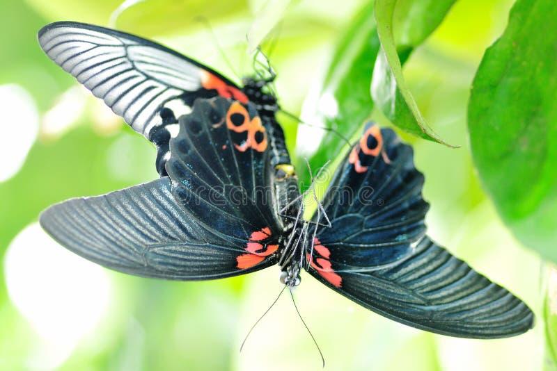Papilio memnonfj?ril som parar ihop p? pomelotr?d arkivbilder