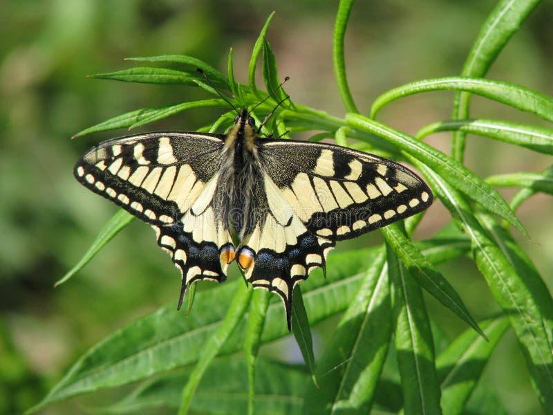 Papilio motyli machaon obrazy royalty free