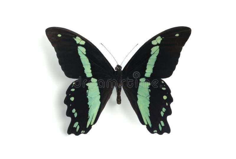 Papilio nireus lizenzfreies stockfoto