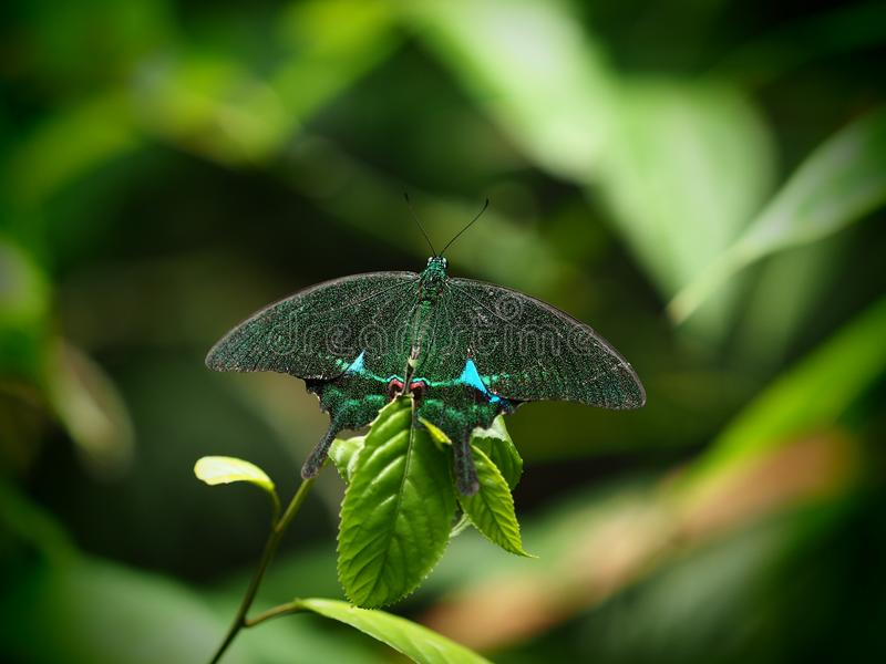 Papilio palinurus, common name Emerald Swallowtail, Emerald Peacock, or Green-banded Peacock perched on green leaf in forest of t royalty free stock photo