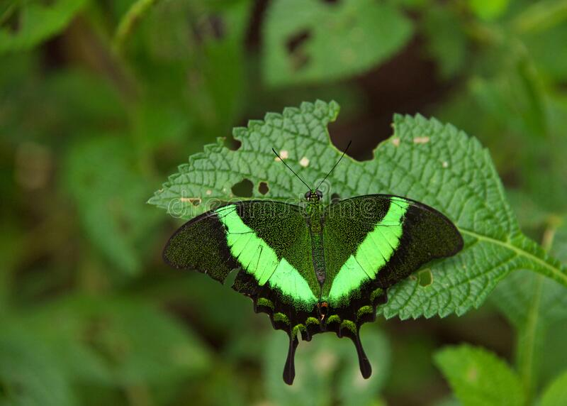 Emerald swallowtail butterfly on green leaves. Papilio palinurus, the emerald swallowtail, emerald peacock or green-banded peacock, a butterfly of the genus stock image